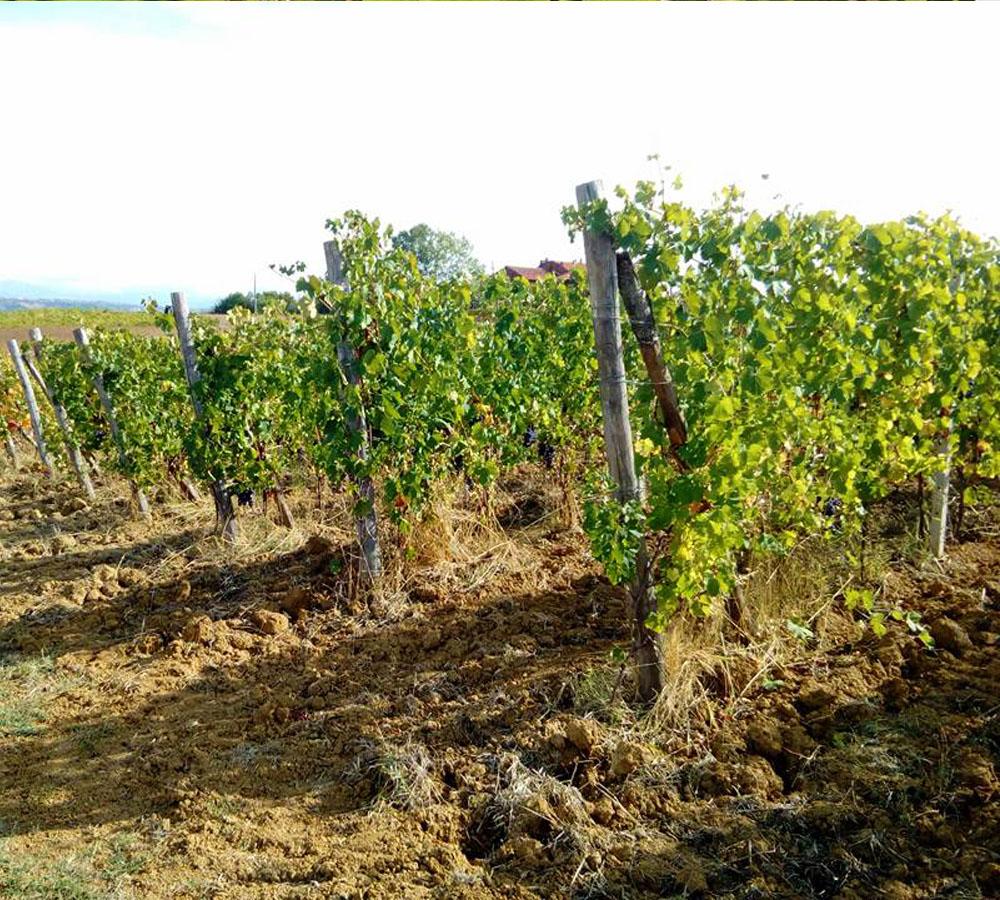 vigne cantina Olivero Cassine